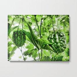 Bitter Melon hang on tree Metal Print