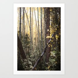 A Walk Among Aspens III Art Print