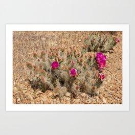 Desert Cacti in Bloom - 2 Art Print