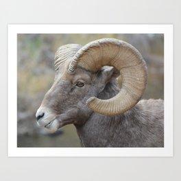 Bighorn Sheep in Waterton Canyon Art Print