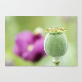 Hungarian Blue Bread Seed Poppy | Seed Pod Alternate Perspective Canvas Print