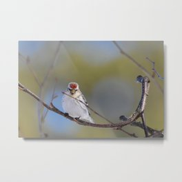 Posing Common Redpoll Metal Print