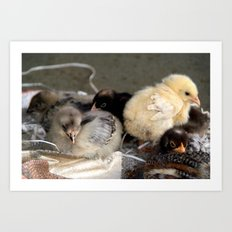 Five Young Chicks Art Print