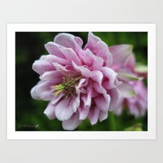 Double Columbine named Pink Tower Art Print