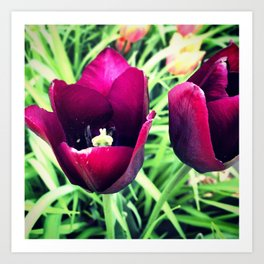Purple Tulips in Bloom Art Print