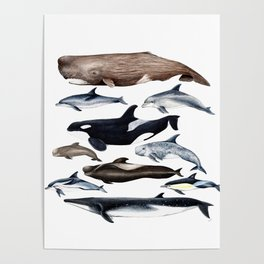 Atlantic whales, dolphins and orca Poster