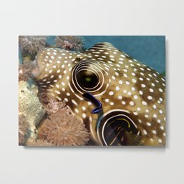 Puffer Fish Being Cleanced Metal Print