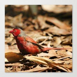 Crimson Finch Canvas Print