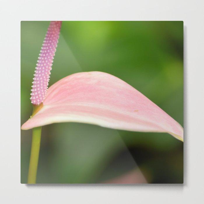 Pink Anthurium Flower Metal Print