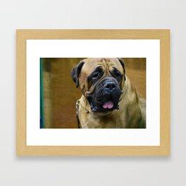 Bull Mastiff Framed Art Print