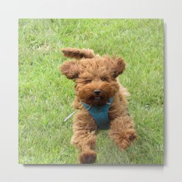 Luna the Labradoodle Metal Print