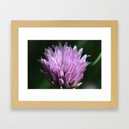 Purple chive flowers 3 Framed Art Print