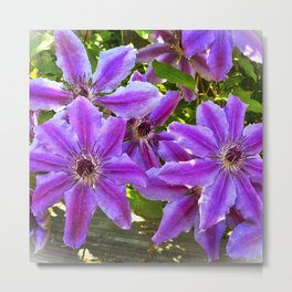 Clematis Nellie Moser Metal Print