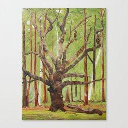 Ancient Oak Canvas Print