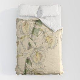 Dendrobium polyanthum (as Dendrobium cretaceum) Curtis' 78 (Ser. 3 no. 8) pl. 4686 (1852) Comforters