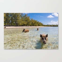landscape with  pig in Bahamas Canvas Print