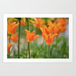 Orange Tulip Art Print