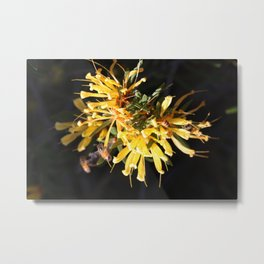 Yellow Lambertia Metal Print