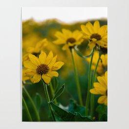 No. 2 Okanagan Sunflowers at Dawn Poster