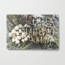 Shaggy Ink Cap Mushrooms 8 Metal Print
