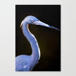 Egretta tricolor Canvas Print