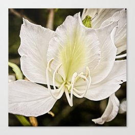 Butterfly tree or Bauhinia variegata Canvas Print