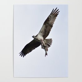 Osprey Caught a Catfish Poster