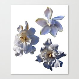 3 White Gardenias [Cecilia Lee] Canvas Print