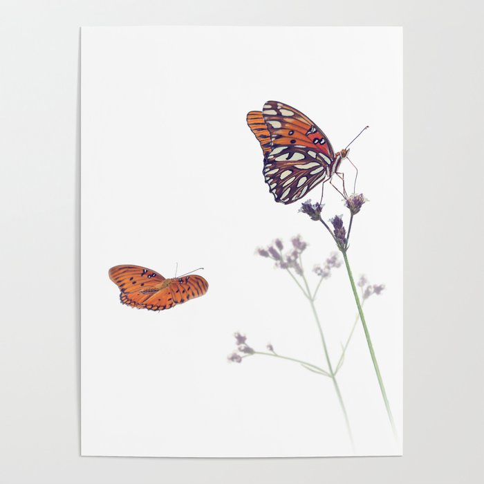 Gulf Fritillary butterflies in a meadow on white background Poster