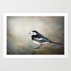 Little Pied Wagtail Art Print