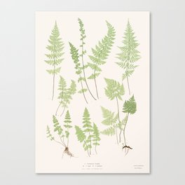 Ferns #1 Canvas Print