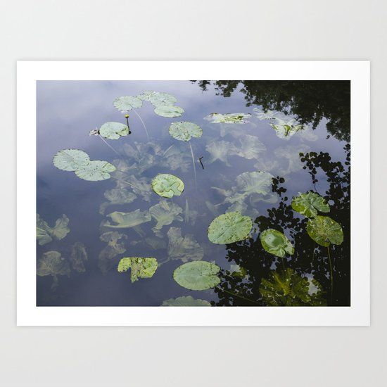 Flower. Yellow Water-lily (Nuphar lutea) on a lake. Art Print
