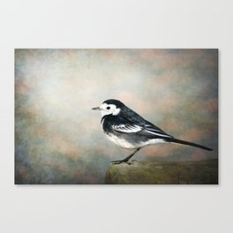 Little Pied Wagtail Canvas Print