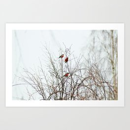 Bullfinches in bush Art Print