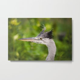 Young orphaned Ardea cinerea the grey heron Metal Print