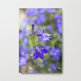 Blue lobelia Metal Print
