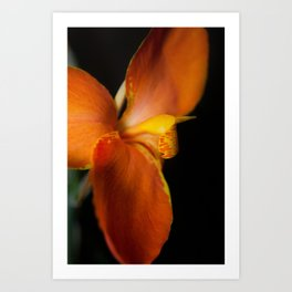 Orange Canna Lily at Longwood Botanical / Nature / Floral Photograph Art Print