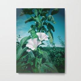 Thunbergia Grandiflora Metal Print