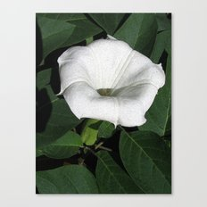 Angel's Trumpet in a Sunny Garden Canvas Print