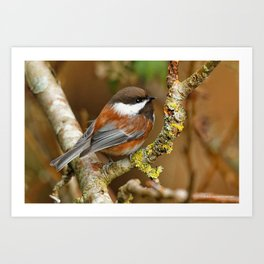 Chestnut-Backed Chickadee in the Cherry Tree Art Print