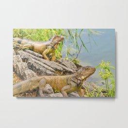 Iguanas at Shore of River Metal Print