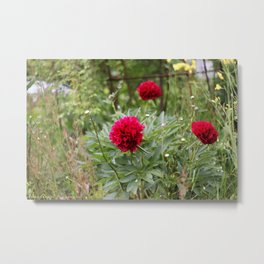 Red Peonies in Bloom Metal Print