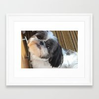 shih tzu Framed Art Prints featuring Shih-tzu by Courtney Burns