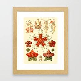 Ernst Haeckel - Scientific Illustration - Asteroidea Framed Art Print