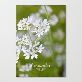 Coriander in flowers VI Canvas Print