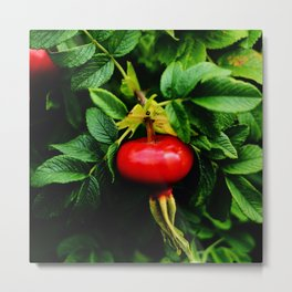 Rosehip Berries on a bush with green leaves and blossom Metal Print