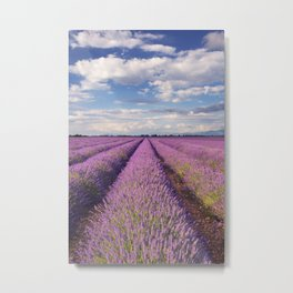 Blooming fields of lavender in the Provence, southern France Metal Print