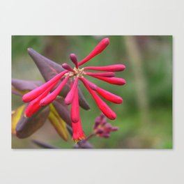 Trumpet Honeysuckle - Buds of Coral Woodbine  Canvas Print