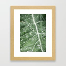 Rain water on a Purple Cauliflower leaf. Norfolk, UK. Framed Art Print