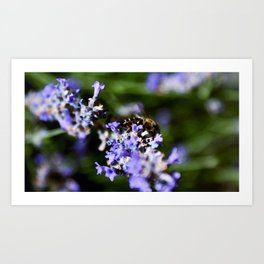Bee on lavander Art Print
